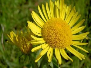 Postal: Gran flor amarilla