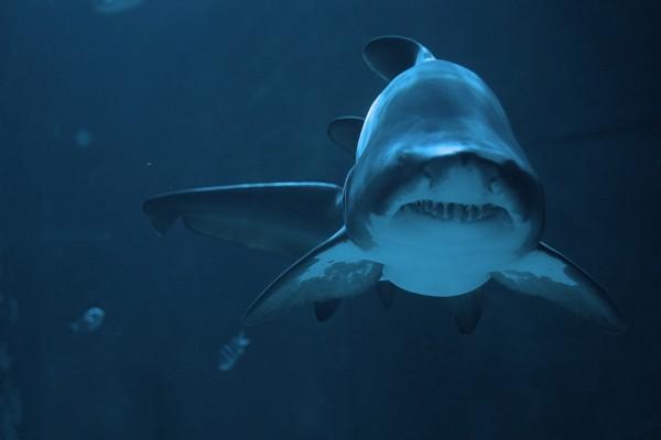 Cerca de un gran tiburón