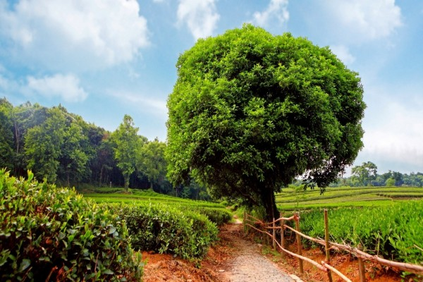 Gran árbol junto al camino empedrado