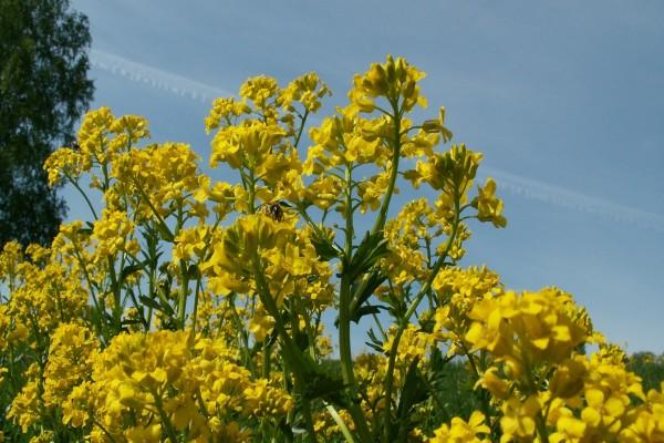 Abejorro sobre las flores amarillas