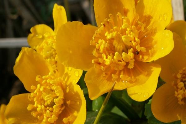 Flores amarillas con gotas de agua