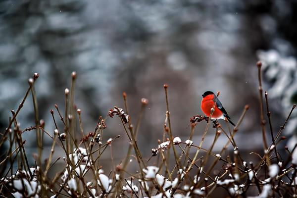Pájaro rojo sobre las ramas nevadas