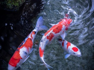 Carpas koi en un estanque
