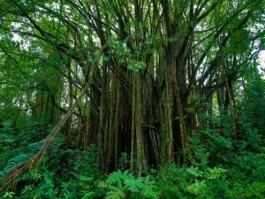 Postal: Jardín botánico en Hawai