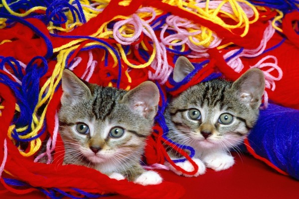 Gatitos entre lana de colores
