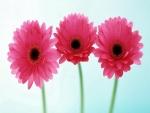Tres gerberas rosas