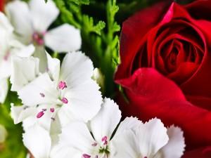 Postal: Flores blancas y una rosa roja