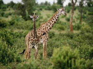Dos jóvenes jirafas