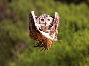 El vuelo del búho