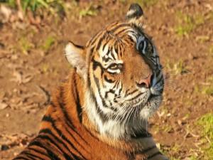 Un bonito tigre al sol
