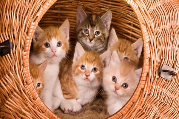 Gatitos en su cesta de mimbre