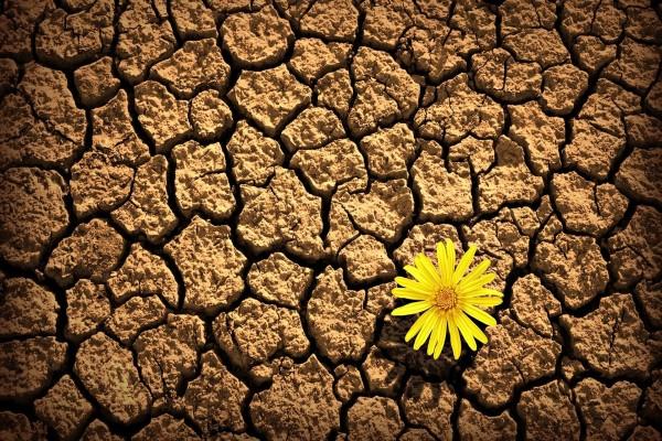Flor amarilla en la tierra seca
