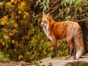 Postal: Bonito zorro rojo