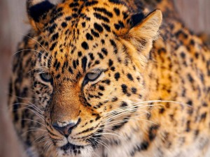 Leopardo con cara triste