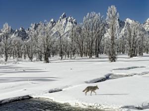 Zorro caminando sobre la nieve