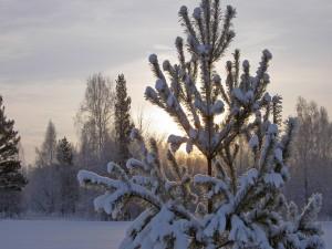 Postal: El sol tras el pino nevado