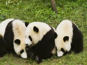 Postal: Tres osos panda