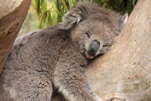Koala dormido en el árbol