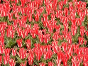 Tulipanes de dos colores