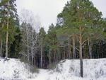 Pinos verdes en la nieve
