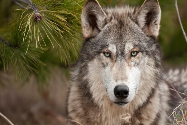 Un lobo gris
