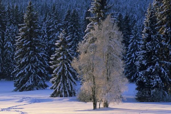 La luz del sol sobre los árboles nevados