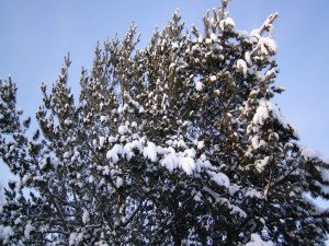 Postal: Nieve en la copa del pino