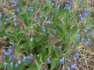 Postal: Plantas con flores azuladas