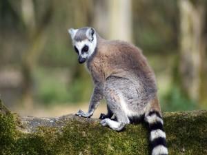 Postal: Lémur sobre un tronco
