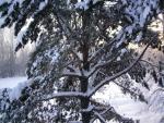 Las ramas del pino cubiertas de nieve