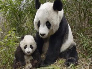 Pequeño panda junto a su mamá