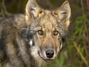 Postal: La mirada del lobo