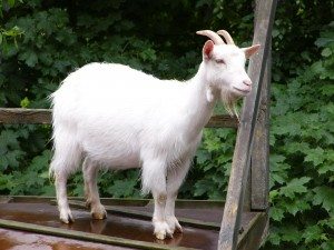 Cabra blanca sobre la plataforma