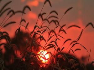 Postal: Salida del sol entre las hierbas