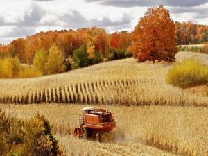 Máquina cosechando en el campo