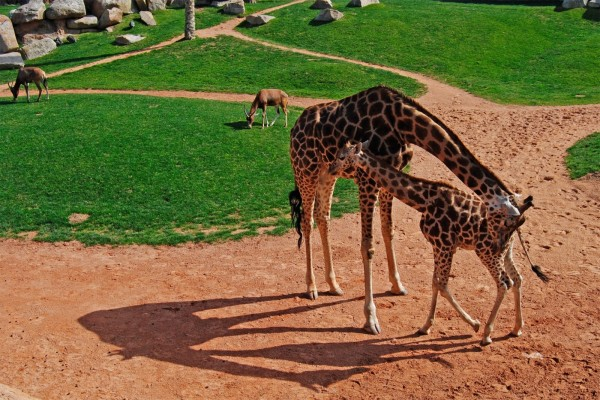 Jirafas en un zoo