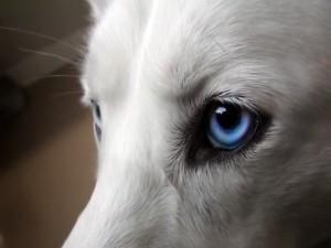 Mirada profunda de un perro con ojos azules