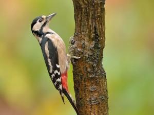Pájaro carpintero en un tronco