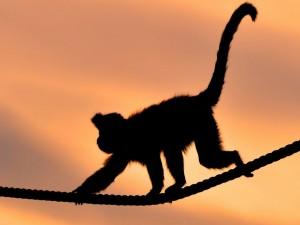Postal: Mono caminando sobre una cuerda