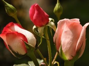 Tres pimpollos de rosas