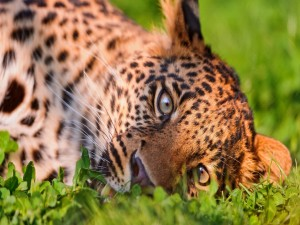 Leopardo tumbado en la hierba
