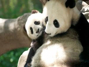 Postal: Osos panda tiernos