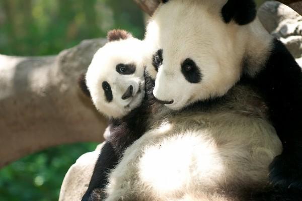 Osos panda tiernos