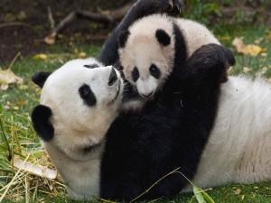 Postal: Mamá panda abrazando a su bebé