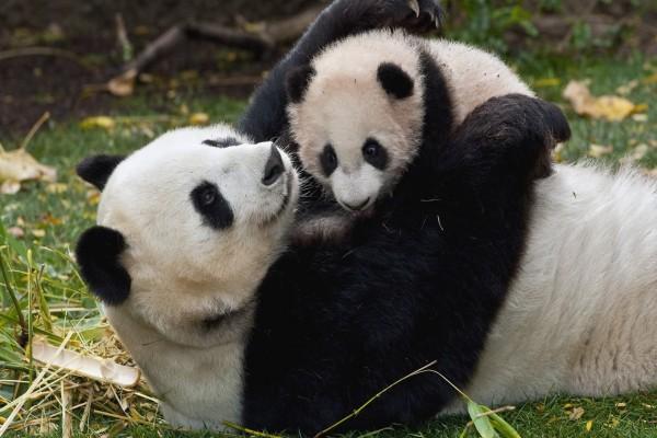 Mamá panda abrazando a su bebé