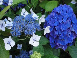 Postal: Hortensias azules