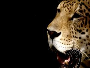 Postal: La cara del leopardo