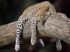 Postal: Leopardo reposando sobre el tronco