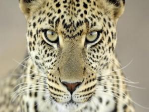 Postal: Mirada de un precioso leopardo