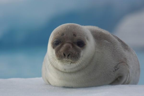 Bonita foca en el hielo